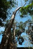 A huge tropical white tree against a clear sky. Tetrameles tree, which grows in a tropical climate.  royalty free stock image