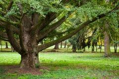 Huge trunk of an old Ginkgo tree. Ginkgo biloba tree scenery in late summer park Stock Photo