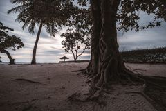 Tropical tree with attractive roots on the evening beach royalty free stock images