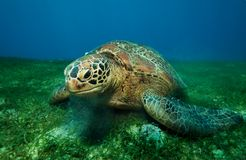 Huge turtle eating seaweed underwater Royalty Free Stock Photo