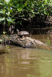 Huge turtle is staying on a fallen tree inside the river. Stock Photo