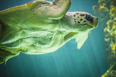Huge turtle swimming under the sea Stock Image