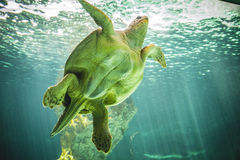 Huge turtle swimming under the sea Stock Photos