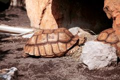 Huge turtle in a zoo. On a sunny day enjoying stock photography