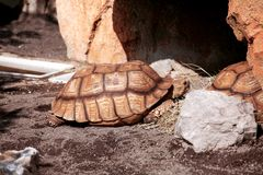 Huge turtle at the zoo. On a sunny day enjoying royalty free stock image