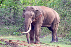 Huge Tusker closeup Royalty Free Stock Photo