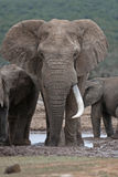 Huge Tusker Stock Photography