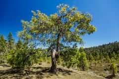 Huge twisted pine tree jn the stony path at upland surrounded by pine trees at sunny day. Clear lue sky. Rocky tracking road in. Dry mountain area with needle royalty free stock photos