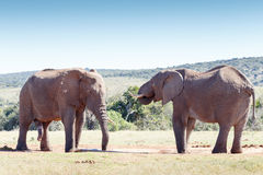 Huge two African Elephant standing at the drinking hole Stock Photo