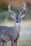 Huge typical whitetail buck in portrait Stock Photo