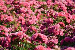 Magnificent flowers of a bush of roses... stock images