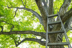 Huge walnut tree canopy. Huge walnut tree with canopy and ladder Stock Photos