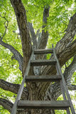 Huge walnut tree with ladder. Huge walnut tree with canopy and ladder Stock Photos