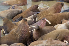 Huge walrus asleep on each other among beach. Royalty Free Stock Image