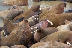 Huge walrus asleep on each other among beach. Huge Atlantic walrus (Odobenus rosmarus rosmarus) asleep on each other among beach. Hear roars of beasts Royalty Free Stock Image