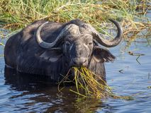 Huge water buffalo with impressive horns at water of Chobe River National Park, Botswana, Southern Africa Royalty Free Stock Images