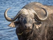 Huge water buffalo with impressive horns at water of Chobe River National Park, Botswana, Southern Africa Royalty Free Stock Photo