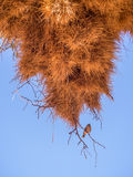 Huge weaver bird nest in Namibia, Africa Stock Photography