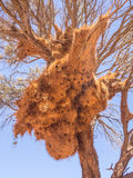 Huge weaver bird nest in Namibia, Africa Royalty Free Stock Image