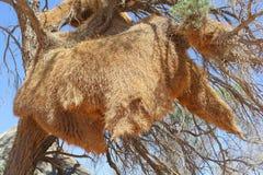 Huge Weaver bird nest tree, Namibia Royalty Free Stock Photography