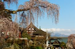 A huge weeping cherry tree  Sakura  with a giant branch of flourishing blossoms by traditional Japanese architectures stock image