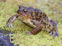 Huge Western Toad. A Huge Western Toad Anaxyrus boreas Royalty Free Stock Photography