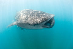 A huge whale shark accompanied by a small school of cleaner fish Royalty Free Stock Photo
