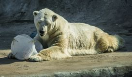 Huge white bear in spring on a walk. Image of huge white bear in spring on a walk stock photography