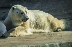 Huge white bear in spring on a walk. Image of huge white bear in spring on a walk royalty free stock image