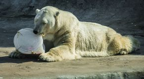 Huge white bear in spring on a walk. Image of huge white bear in spring on a walk stock image