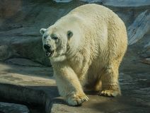 Huge white bear in spring on a walk. Image of huge white bear in spring on a walk stock images