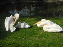 Huge white birds from the zoo Stock Images