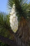 Huge white flower of a yucca Royalty Free Stock Images