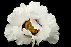 Huge white peony flower closeup Royalty Free Stock Images