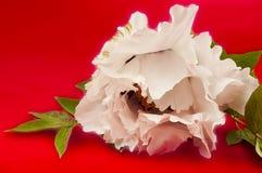 Huge white peony flower closeup Stock Photo