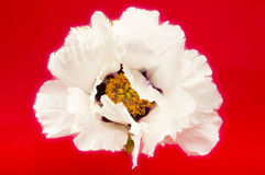 Huge white peony flower closeup Stock Images
