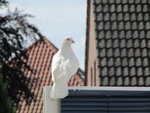 A huge white pidgeon in escaped from a wedding Royalty Free Stock Photo