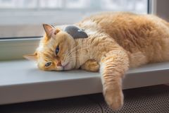 Huge white red cat with blue eyes and long hair lies lazily on windowsill in apartment next to gray toy mousev. Close-up beautiful huge white red cat with blue stock image