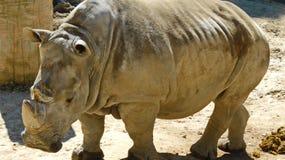 A huge white Rhino. The horn of the white rhino Stock Photos