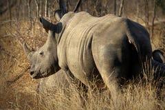 White rhino / rhinoceros, showing off his huge horn. South Africa. A huge white rhino rhinoceros, showing off his huge horn. South Africa royalty free stock photos