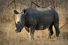 White rhino / rhinoceros, showing off his huge horn. South Africa Royalty Free Stock Photo