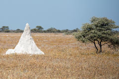 A huge white termitary is almost the same height as a tree Royalty Free Stock Photography
