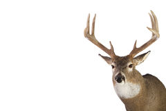 Huge whitetail buck isolated on white background Stock Photography
