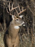 Huge Whitetail Buck Royalty Free Stock Photo