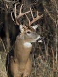 Huge Whitetail Buck Royalty Free Stock Photo