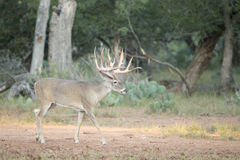Huge whitetail buck searching for doe Royalty Free Stock Images