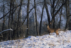 Huge Whitetailed Buck. A trophy buck stops to look back before running into cover Royalty Free Stock Photography