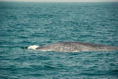 Huge Wild blue whale swimming in indian ocean. Wildlife nature background. Space for text. Adventure travel, tourism industry. Mir. Issa, Sri Lanka. Protection royalty free stock photography