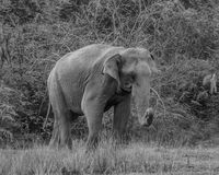 Huge wild elephant in black and white stock photography