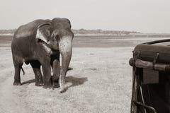 Wild elephant in safari. Huge wild elephant near truck at safari park, kaudulla , srilanka Stock Images